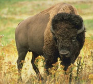 Buffalo, the state animal