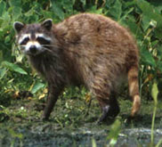 Raccoon, the state furbearer