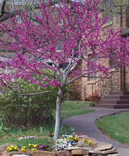 A blooming Redbud tree in front of a house