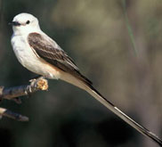 Scissor-tailed Flycatcher, the state bird