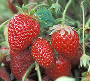Stawberries on a vine